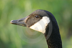 Goose Head Stock Photography
