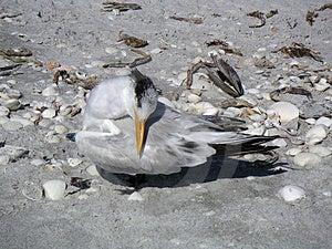 Royal Tern Stock Image