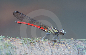 Damselfly Free Stock Photo