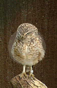 Hooting Owl 1 Stock Photo