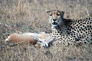 Cheetah Free Stock Images