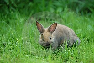Rabbit On Grass Free Stock Photo