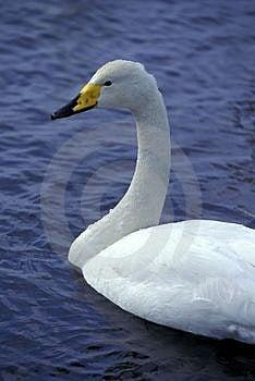 Swan On Lake Free Stock Photography