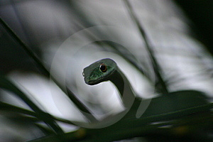African Spotted Bush Snake Stock Photos