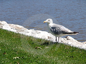 Seagull Eating Lunch Free Stock Photo