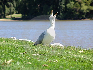 Screaming Seagull Royalty Free Stock Photos