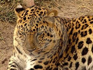 Jaguar Free Stock Photography