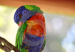Rainbow Lorikeet 2 Free Stock Photo