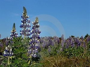 Lupines Royalty Free Stock Photos