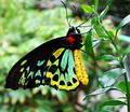 Butterfly glory