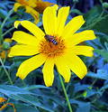 The flower and the bee Free Stock Photography