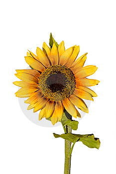 Isolated Sunflower Stock Photography - Image: 7012332