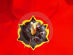 Red Tulip Stock Images - Image: 7015324