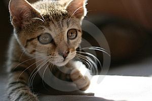 Kitten Looking For A Prey Royalty Free Stock Image - Image: 7015776