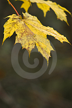 Golden Maple Leaves In Sunlight. Royalty Free Stock Image - Image: 7017006