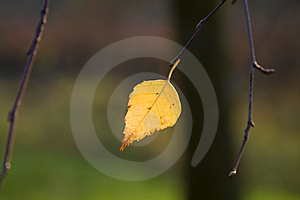 Birch Leaves Against A Dark Background Royalty Free Stock Images - Image: 7017159