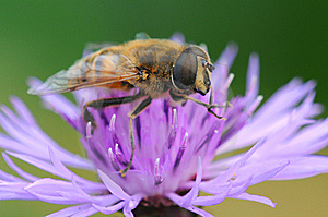 Bee Stock Photography - Image: 7018342