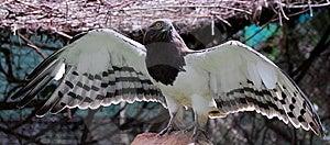 Intimidating Eagle Royalty Free Stock Image - Image: 7023676