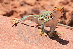 Eastern Collared Lizard Royalty Free Stock Photos - Image: 7024638