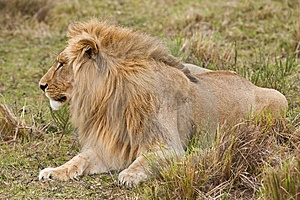Blonde Lion Royalty Free Stock Images - Image: 7027099