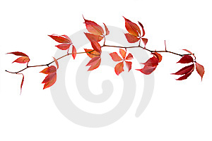 Leafage Of Wild Grape Royalty Free Stock Photos - Image: 7028648