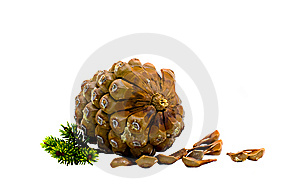 The Cedar Cone Royalty Free Stock Photo - Image: 7028865