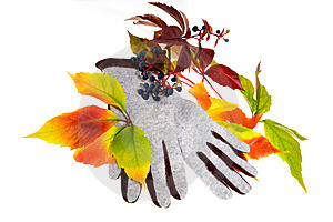 Leafage Of Wild Grape Royalty Free Stock Photo - Image: 7029325
