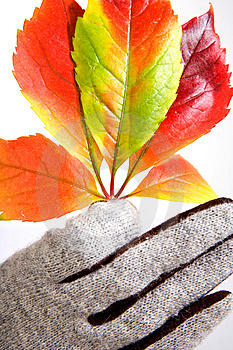 Leafage Of Wild Grape Royalty Free Stock Image - Image: 7029426