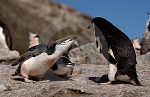 Chinstrap Penguin Royalty Free Stock Image - Image: 7032266