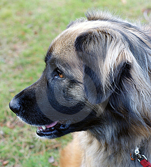 Leonberger Dog Stock Image - Image: 7032611