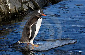 Gentoo Penguin Stock Photography - Image: 7032672