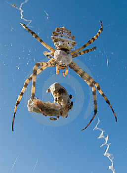 Spider Royalty Free Stock Images - Image: 7034499