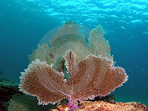 Fan Coral Royalty Free Stock Images - Image: 7039649