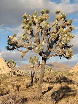 Stuuning Otherworldly Joshua Tree Stock Photography - Image: 7040462