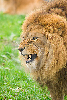 Angry Lion Royalty Free Stock Images - Image: 7042459