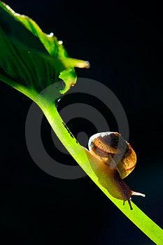 Snail Royalty Free Stock Photo - Image: 7048145