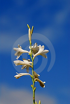 White Flower Royalty Free Stock Photos - Image: 7049328