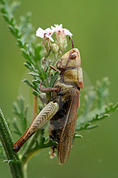 Grass-hopper On Grass Royalty Free Stock Image - Image: 7050206