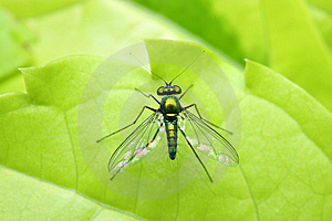 Long Legged Fly Stock Images - Image: 7053554