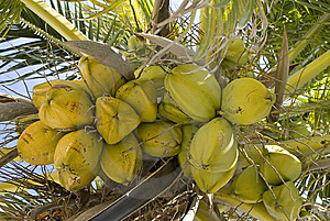 Coconuts On A Palm Tree. Stock Image - Image: 7053991