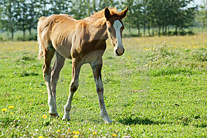 Foal Royalty Free Stock Images - Image: 7056239