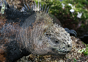 Galapagos Marine Iguana Stock Image - Image: 7057091