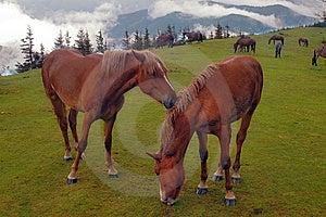 Horses Are Grazed Stock Photo - Image: 7058170