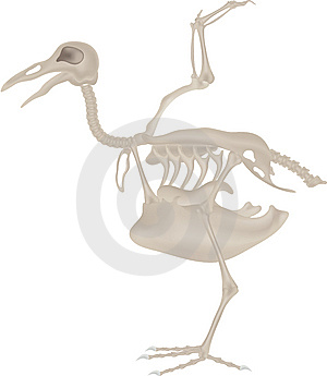 Bird Skeleton Stock Image - Image: 7059101