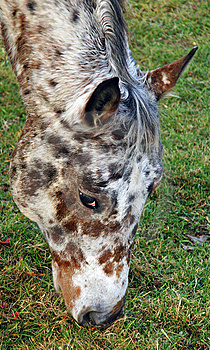 Close Up Of An Appaloosa Horse Royalty Free Stock Image - Image: 7059946
