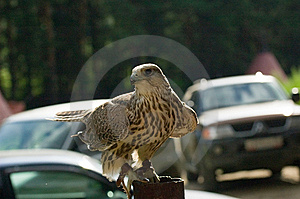 Falcon Cherrug Stock Photography - Image: 7059992