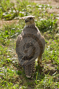 Falcon Cherrug Royalty Free Stock Photo - Image: 7060015