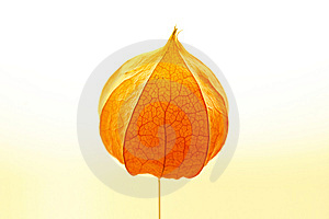 Physalis On Light Royalty Free Stock Photos - Image: 7062878