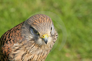 Hawk (with Room For Text) Stock Image - Image: 711561