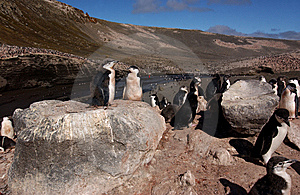 CHINSTRAP PENGUIN Royalty Free Stock Photography - Image: 7181937